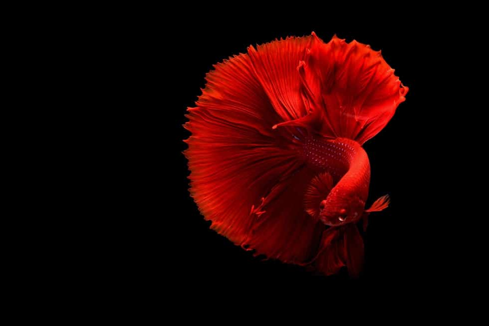 red fish on black background